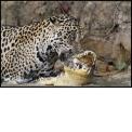 SAFARI PHOTO AU BRESIL - <p>Le jaguar et le perroquet ara hyacinthe sont 2 animaux mythiques du continent sud américain.</p> <p>Vous voulez être sûrs de les voir et les photographier ?? Partez en safari photo avec Objectif Nature!</p> <p>Notre expérience de plus de 10 ans dans la région du Pantanal au Brésil est votre meilleure garantie.</p> <p>tous nos clients les ont vus et photographiés ...</p> <p>http://www.objectif-nature.fr/destinations/bresil/</p>